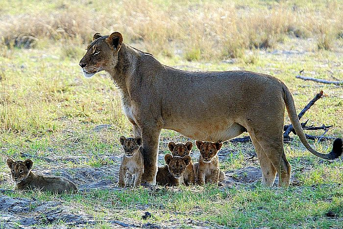 Zimbabwe-generic-Lioness-and-cubs-700