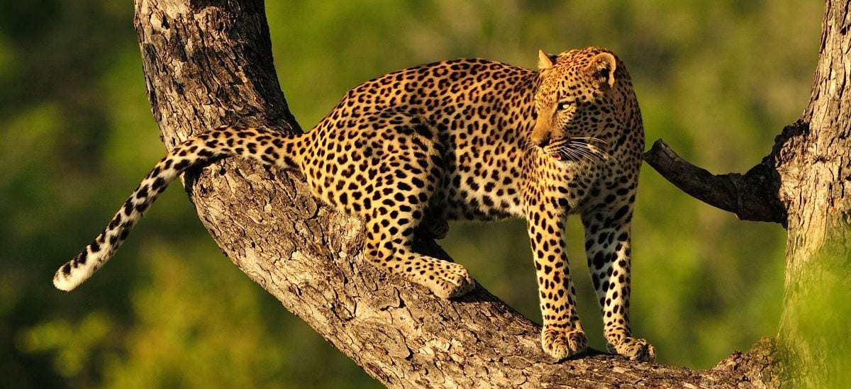 Leopard in Kruger - Where to go in Africa