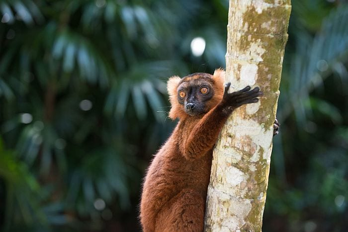 Brown lemur on Nosy Komba, Nosy Be holidays, best places to visit in Africa in September