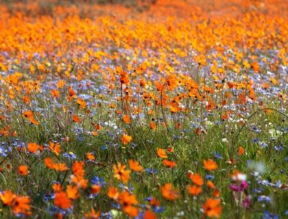 tips for spring flower-viewing in Namqualand and Cederberg