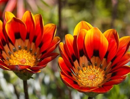Red flower close-up, tips for spring flower-viewing in Namqualand and Cederberg