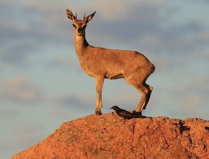 The Road Less Travelled in South Africa Klipspringer Male On A Rock