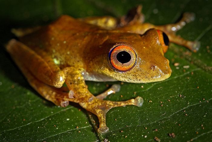 Ranomafana tree frog seen on Rainforests, Mountains & Beaches of Southern Madagascar