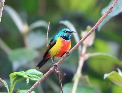 Nyungwe Forest regal sunbird