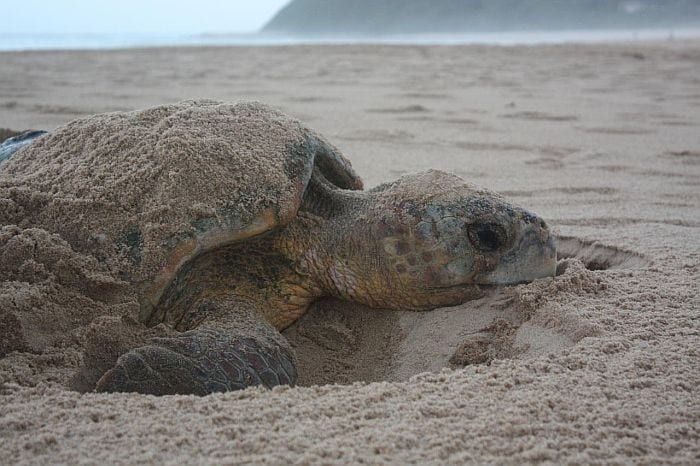 Turtle-tracking-Southern-Mozambique-white-pearl-resort-turtle