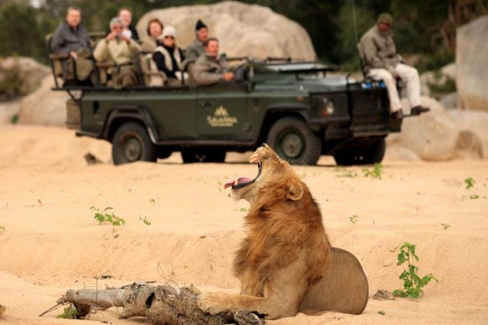 Male lion on game drive at savanna