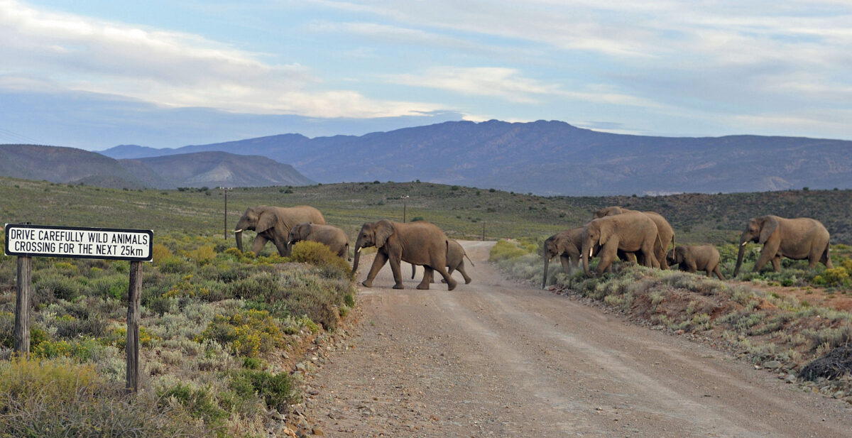 Hermanus & Route 62 - Sanbona elephants