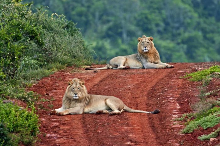Addo elephant park lions in road